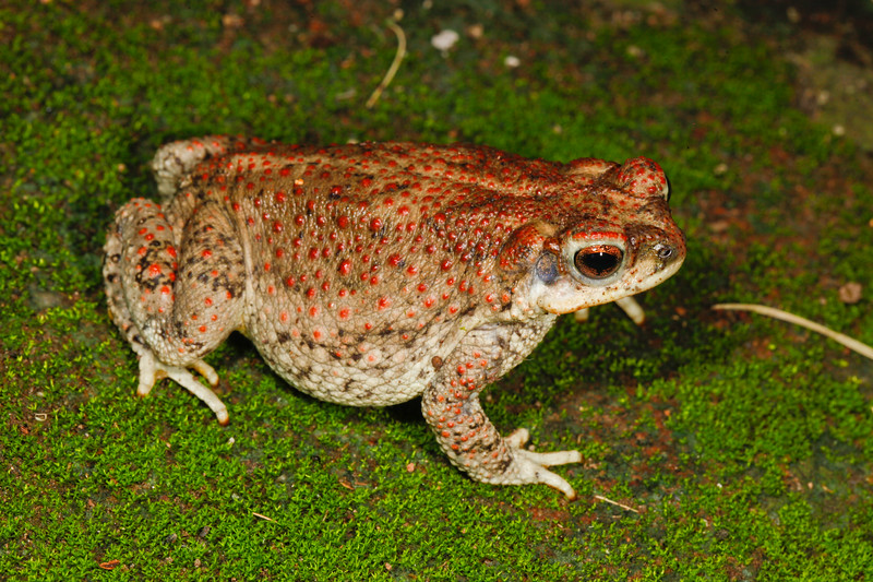 BA Bufonidae<br /> Anaxyrus punctatus<br /> Red Spotted Toad<br /> Alamos<br /> 2017