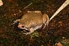 BF Microhylidae Gastrophryninae<br /> Gastrophryne olivacea<br /> Great Plains Narrowmouth Toad<br /> Alamos<br /> Specimen #2<br /> 2017