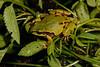 BC Hylidae Hylinae<br /> Hyla wrightorum<br /> Mountain Treefrog<br /> Yecora<br /> 2017