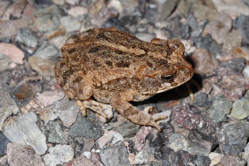BA Bufonidae<br /> Incilius mazatlanensis<br /> Sinaloa Toad<br /> Highway 16<br /> 2017