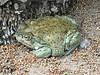 BA Bufonidae<br /> Incilius alvarius<br /> Sonoran Desert Toad<br /> Alamos<br /> 2017<br /> Iphoneb