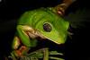 BC  Hylidae Phyllomedusinae<br /> Agalychnis dacnicolor<br /> Mexican Giant Tree Frog<br /> Alamos <br /> Specimen #2<br /> 2017