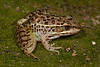 BD Ranidae<br /> Lithobates magnaocularis<br /> Northwest Mexico Leopard Frog<br /> Alamos<br /> 2017<br /> Alamos