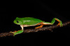 BC  Hylidae Phyllomedusinae<br /> Agalychnis dacnicolor<br /> Mexican Giant Tree Frog<br /> Highway 16<br /> 2017
