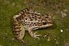BD Ranidae<br /> Lithobates magnaocularis<br /> Northwest Mexico Leopard Frog<br /> Alamos<br /> 2017