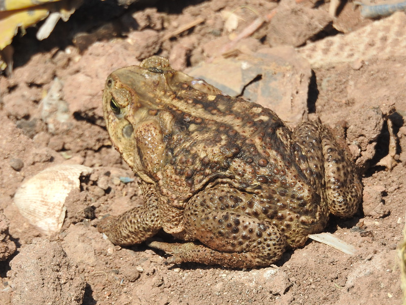 BA Bufonidae<br /> Rhinella horribilis<br /> Giant Toad<br /> Southern Sonora<br /> 2017