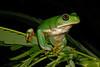 BC  Hylidae Phyllomedusinae<br /> Agalychnis dacnicolor<br /> Mexican Giant Tree Frog<br /> Alamos <br /> Specimen #3<br /> 2017
