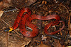 EEF Colubroidea Dipsadidae<br /> Ninia sebae morleyi<br /> Redback Coffee Snake<br /> 2016