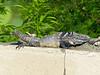 DA Iguania Iguanidae Iguanidae<br /> Ctenosaura hemilopha<br /> Cape Spiny Tailed Iguana<br /> Miraflores<br /> 2015