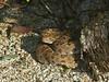 EL Colubroidea Viperidae Crotalinae<br /> Crotalus catalinensis<br /> Isla Santa Catalina Rattlesnake<br /> Specimen #7<br /> In Situ<br /> 2015