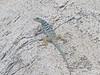 DA Iguania Iguanidae Phrynosomatidae<br /> Petrosaurus thalassinus<br /> San Lucan Rock Lizard<br /> Cabo San Lucas<br /> 2015