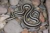 ED Booidea Boidae Charinidae<br /> Lichanura trivirgata trivergata<br /> Mexican Rosy Boa<br /> Santa Rosalia<br /> 2015