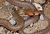 EEB Colubroidae Colubridae<br /> Bogertophis rosaliae<br /> Baja California Rat Snake<br /> San Ignacio<br /> 2015
