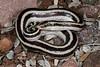 ED Booidea Boidae Charinidae<br /> Lichanura trivirgata trivergata<br /> Mexican Rosy Boa<br /> Loreto<br /> Specimen #1<br /> 2015