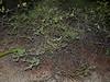 EL Colubroidea Viperidae Crotalinae<br /> Crotalus catalinensis<br /> Isla Santa Catalina Rattlesnake<br /> Specimen #5<br /> In Situ<br /> 2015