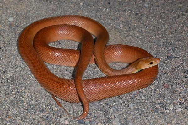 EEB Colubroidae Colubridae Bogertophis rosaliae Baja California Rat Snake Santa Rosalia 2015