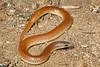EEB Colubroidae Colubridae<br /> Chilomeniscus stramineus<br /> Variable Sand Snake<br /> La Paz<br /> 2015
