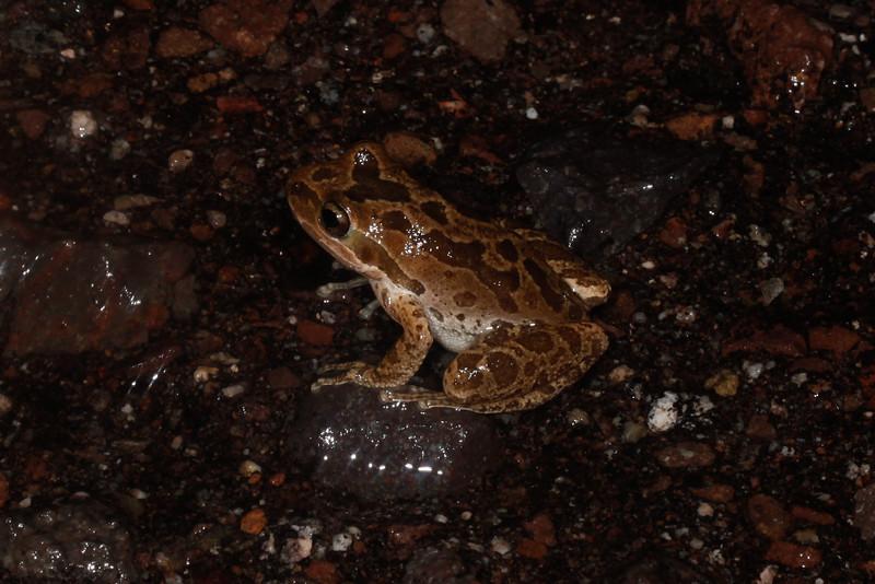 BC Hylidae Hylinae<br /> Pseudacris regilla <br /> Pacific Treefrog<br /> Loreto<br /> 2015