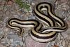 ED Booidea Boidae Charinidae<br /> Lichanura trivirgata trivergata<br /> Mexican Rosy Boa<br /> Loreto<br /> Specimen #2<br /> 2015