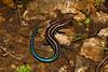 DCF Scincomorpha Scincidae Scincinae<br /> Plestiodon fasciatus<br /> Five Lined Skink<br /> Jackson County<br /> 2017
