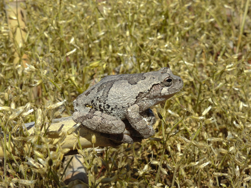 BC Hylidae Hylinae<br /> Hyla versicolor<br /> Gray Treefrog<br /> Jackson County<br /> 2017<br /> Specimen #1