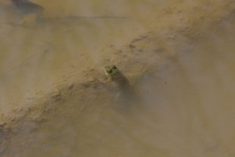 BD Ranidae<br /> Rana catesbeiana <br /> American Bullfrog<br /> Platte County