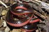 EEF Colubroidea Dipsadidae<br /> Carphophis vermis<br /> Western Worm Snake<br /> Jackson County