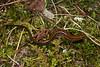 AB Plethodontidae Hemidactyliinae<br /> Eurycea longicauda melanopleura<br /> Dark-sided Salamander<br /> Ste. Genevieve County<br /> 2019