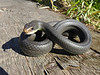 EEB Colubroidae Colubridae<br /> Coluber constrictor Flaviventris<br /> Eastern Yellowbelly Racer<br /> Jackson County<br /> 2017
