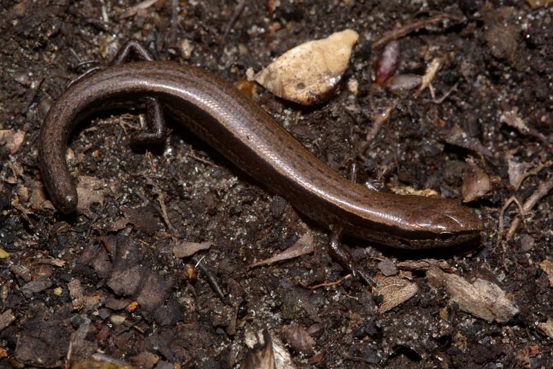DCF Scincomorpha Scincidae Sphenomorphinae<br /> Scincella lateralis<br /> Ground Skink<br /> Montgomery County
