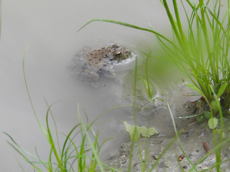 BC Hylidae Hylina<br /> Acris blanchardi<br /> Blanchard's Cricket Frog<br /> Platte County<br /> 2017