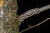DA Iguania Iguanidae Phrynosomatidae<br /> Sceloporus consobrinus<br /> Prairie Lizard<br /> St. Louis County<br /> 2019