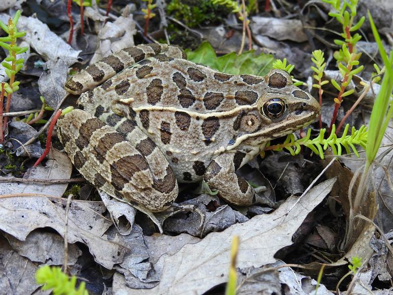 BD Ranidae<br /> Rana sphenocephala sphenocephala<br /> Southern Leopard Frog<br /> Jackson County<br /> 2017