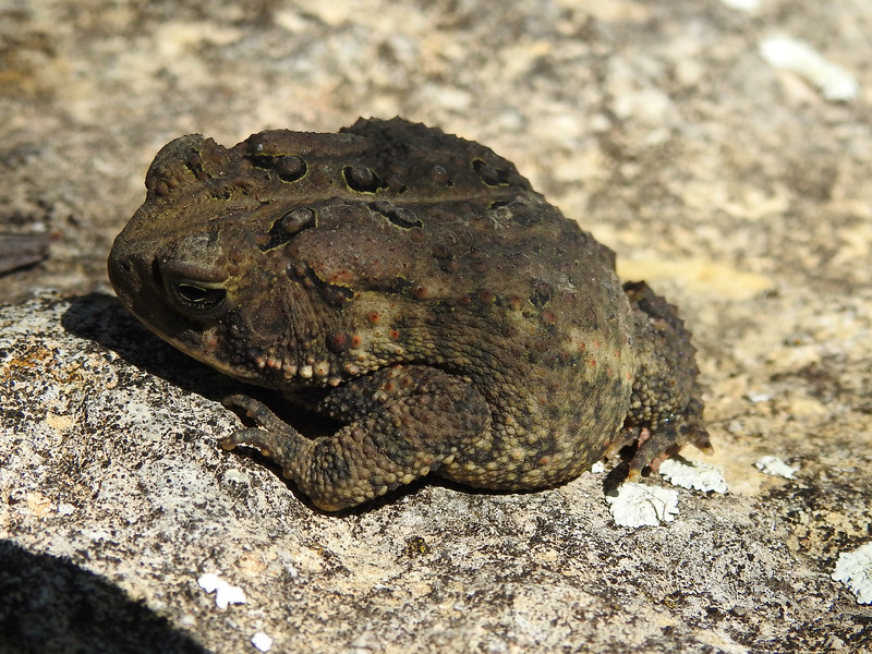 BA Bufonidae<br /> Anaxyrus americanus<br /> American Toad<br /> Jackson County<br /> 2017