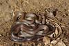 EEF Colubroidea Dipsadidae<br /> Carphophis vermis <br /> Western Worm Snake<br /> Diadophis punctatus arnyi<br /> Prairie Ringneck Snake<br /> Jackson County