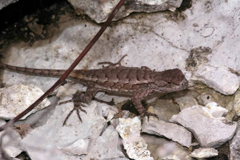 DA Iguania Iguanidae Phrynosomatidae<br /> Sceloporus undulatus hyacinthinus<br /> Northern Fence Lizard<br /> Montgomery County
