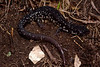 AB Plethodontidae<br /> Plethodon glutinosus <br /> Northern Slimy Salamander<br /> Montgomery County