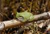BC Hylidae Hylinae<br /> Hyla versicolor<br /> Gray Treefrog<br /> Jackson County<br /> 2017<br /> Specimen #3