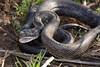 EEB Colubroidae Colubridae<br /> Pantherophis obsoletus<br /> Black Rat Snake<br /> Platte County
