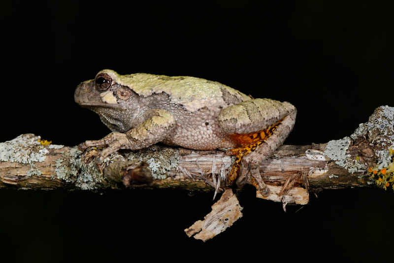 BC Hylidae Hylinae<br /> Hyla versicolor<br /> Gray Treefrog<br /> Jackson County<br /> 2017<br /> Specimen #2