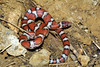 EEB Colubroidae Colubridae<br /> Lampropeltis triangulum syspila<br /> Red Milk Snake<br /> Platte County