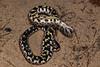EEF Colubroidea Dipsadidae<br /> Heterodon gloydi<br /> Dusty Hognose Snake<br /> Scott County<br /> 2016