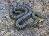 EEB Colubroidae Colubridae<br /> Lampropeltis holbrooki<br /> Speckled Kingsnake<br /> Jackson County<br /> 2017