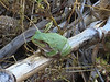 BC Hylidae Hylinae<br /> Hyla versicolor<br /> Gray Treefrog<br /> Jackson County<br /> 2017<br /> Specimen #3<br /> Iphone
