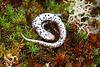 AB Plethodontidae Hemidactyliinae<br /> Hemidactylium scutatum<br /> Four-toed Salamander<br /> Ste. Genevieve County<br /> 2019