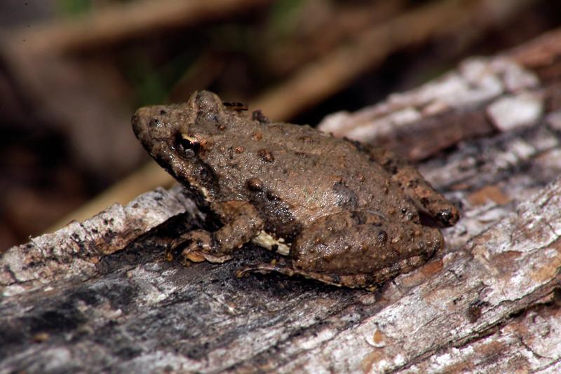 BC Hylidae Hylina<br /> Acris blanchardi<br /> Blanchard's Cricket Frog<br /> Montgomery County
