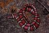 EEB Colubroidae Colubridae<br /> Lampropeltis triangulum syspila<br /> Red Milk Snake<br /> Jackson County