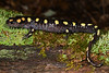 AB Ambystomatidae<br /> Ambystoma maculatum<br /> Spotted Salamander<br /> Ste. Genevieve County<br /> 2019