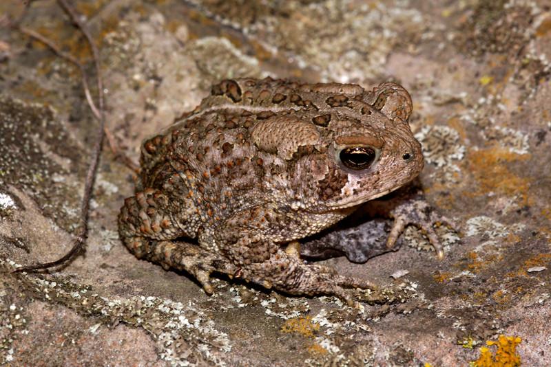 BA Bufonidae<br /> Anaxyrus americanus<br /> American Toad<br /> Platte County