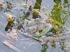 BD Ranidae<br /> Rana catesbeiana <br /> American Bullfrog<br /> Holt County<br /> 2017